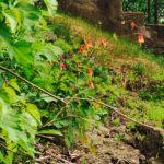Columbine blooming on the rocks at Jail Hill Inn